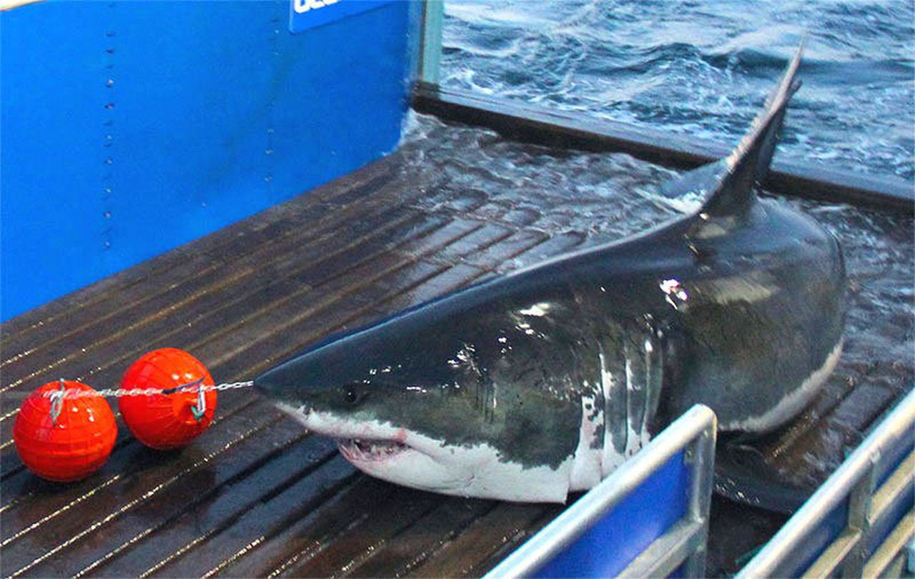 Image of Mary Lee great white shark